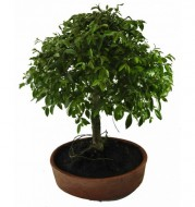 Bonsai - Just for Capital y Gran Bs. As
